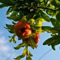 Granatapfel am Baum mit Himmel.